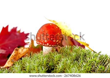 autumn mushroom isolated on the white background - stock photo