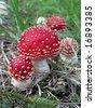 Autumn mushrooms - closeup of fly agaric mushrooms - Amanita muscaria - stock photo
