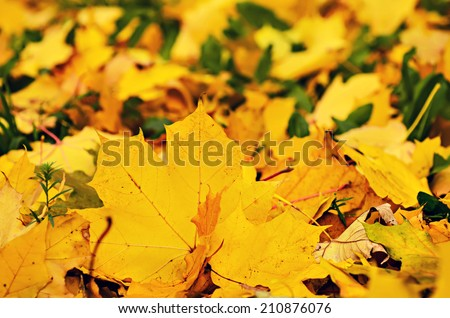 Autumn natural background with colorful maple leaves - stock photo