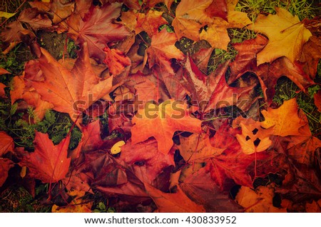 Autumn natural flat background with colorful red maple leaves on a green grass - stock photo
