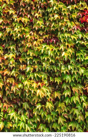Autumn nature background. Wall overgrown with green red ivy leaves. - stock photo