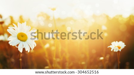 Autumn nature background with daises and sunset light, banner for website - stock photo