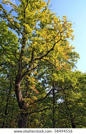 autumn oak - stock photo