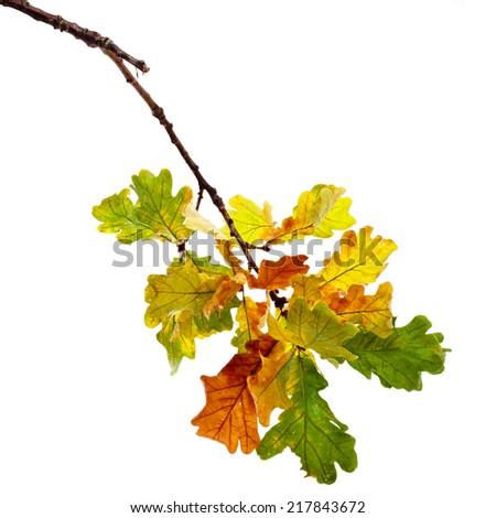 Autumn Oak branch isolated on white background - stock photo