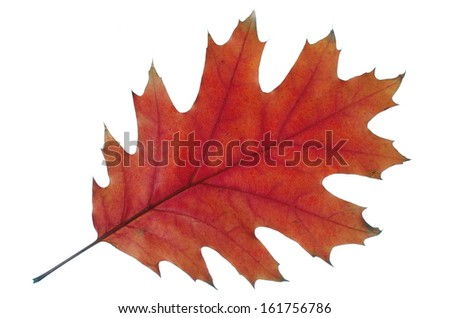 Autumn  oak leaf isolated on white - stock photo