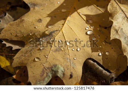 Autumn oak leaf with water droplets in sunshine - stock photo