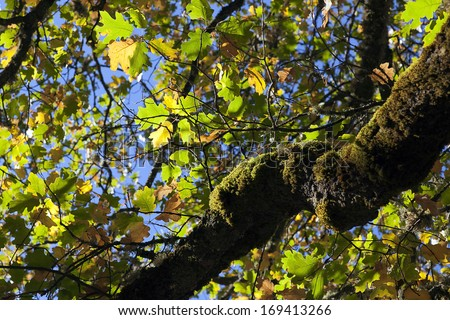 Autumn oak leaves against blue sky, and mossy oak tree.
