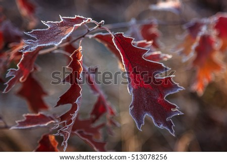 Autumn Oak leaves and grass with hoarfrost frosty sunny morning as a background.
