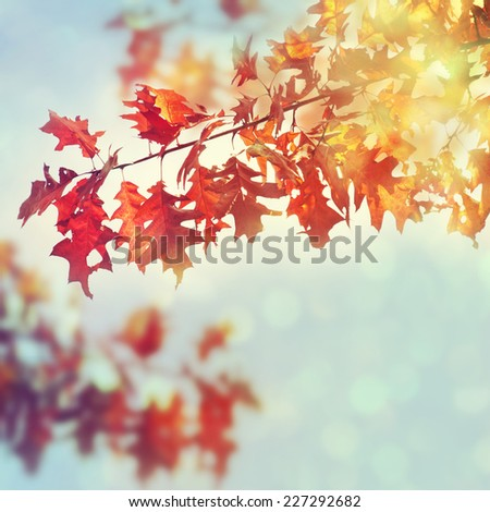 Autumn oak leaves in sunrise light. - stock photo