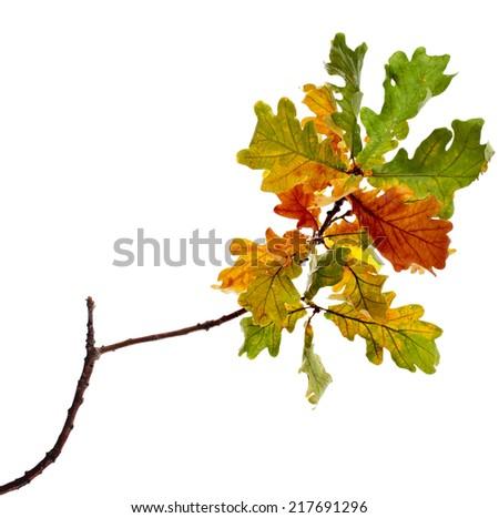 Autumn Oak Leaves isolated on white background - stock photo