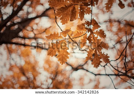autumn oak tree leaves background - stock photo