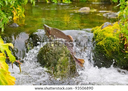 Autumn on spawning rivers (spawning run). Humpback salmon (male) burst through waterfalls in upper reaches of stream where spawning grounds. Commander-Aleutian Islands