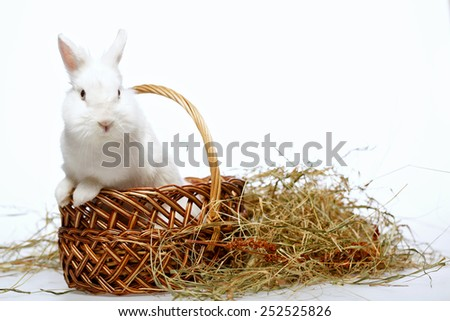 Autumn on the farm. Closeup image of a cute white bunny looking out from the cane basket isolated on white background  - stock photo