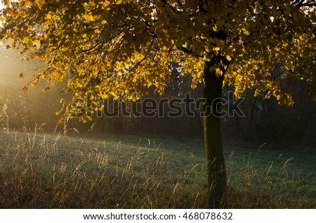 Autumn or fall morning with sun shining on a yellow golden tree.