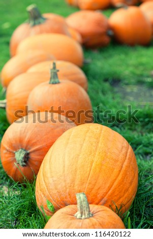 autumn orange pumpkins in a row, shallow DOF - stock photo