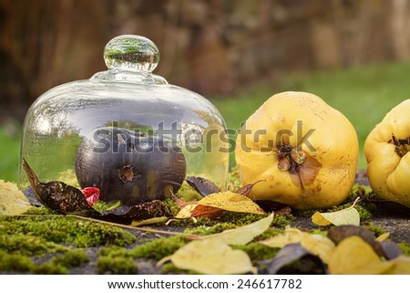 autumn outdoor still life with quince, black apple and leaves - stock photo