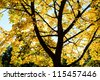 Autumn picture of yellow maple leaves and silhouette of tree trunk. Sunshine is used as backlight and shines through the leafage. - stock photo