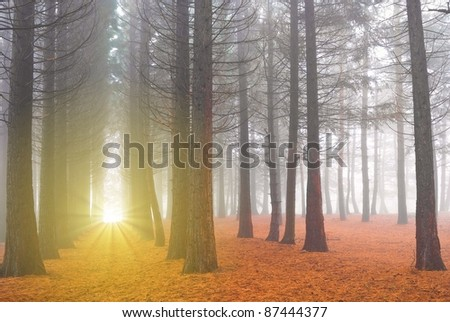 autumn pine forest in a sunshine - stock photo
