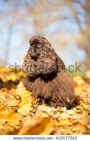 Autumn portrait of a nice American Cocker Spaniel - stock photo