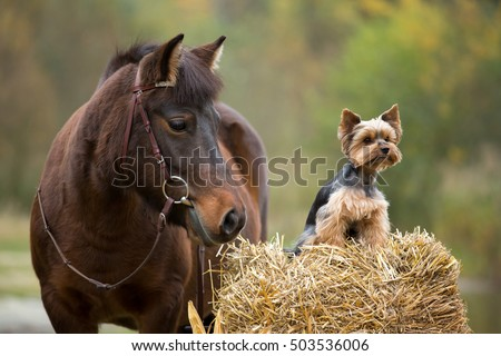 Autumn portrait of a nice pony mare and Yorkshire Terrier