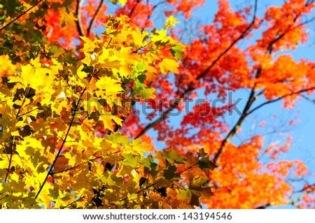 Autumn red and yellow maple leaves background - stock photo