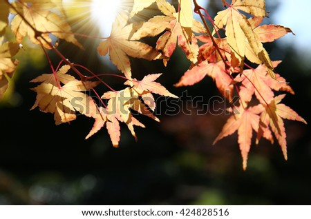 Autumn red and yellow maple leaves with blur backdrop - stock photo