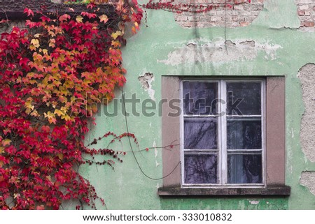 Autumn red ivy on a green wall near a window