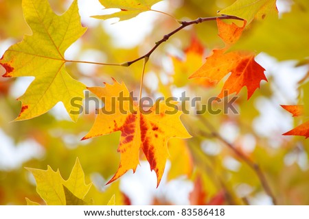Autumn red leaves of maple - stock photo