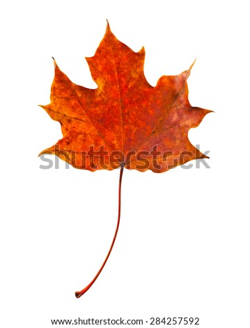 Autumn red maple leaf close-up on a white background. - stock photo