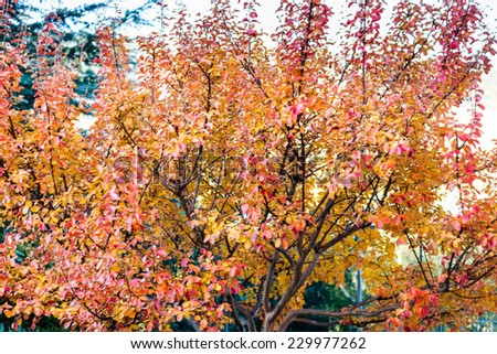 Autumn red, orange and yellow leaves tree