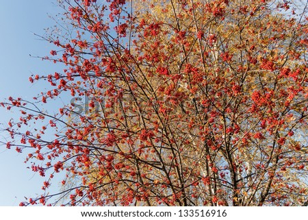 Autumn rowan branch with red berries on a background of golden birch