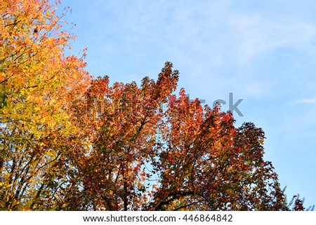 Autumn scenery. Colorful autumn tree with golden leaves.