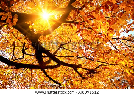 Autumn scenery with the sun warmly shining through the gold leaves of a beech tree - stock photo