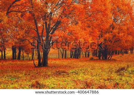Autumn scenic view of old oak trees with bright red leaves in the forest in cloudy weather. Soft focus and diffusion filter applied.  - stock photo