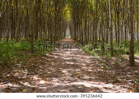 Autumn season of rubber trees. With many colorful of dry leaf on sand lane.