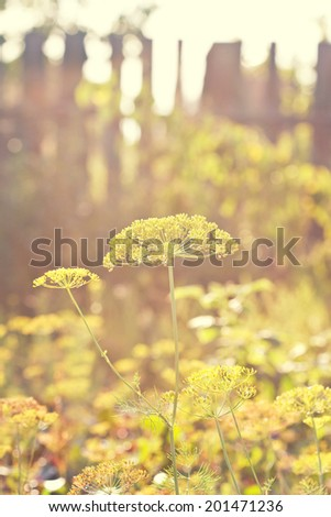 autumn still life with flowering dill in a rustic vegetable garden in vintage style (toning) - stock photo