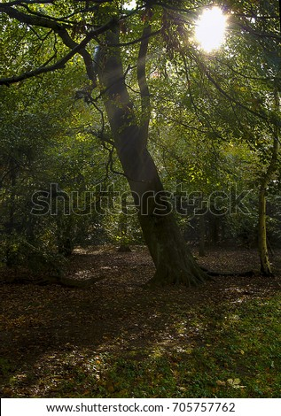 Autumn sun shining through native British forest and trees.