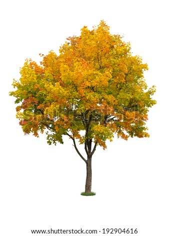 Autumn tree isolated - stock photo