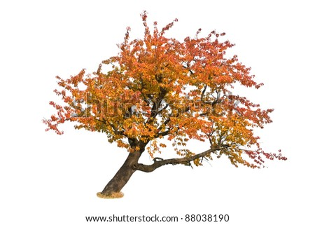 autumn tree isolation on a white background - stock photo