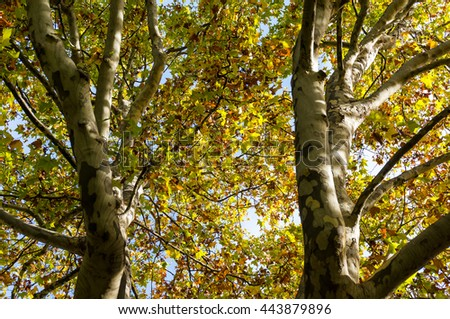Autumn trees trunks and leaves against sky on the background. Yellow foliage of fall season background. Looking up the tree canopy - stock photo