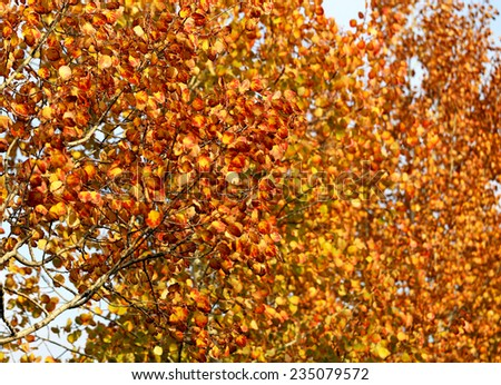 autumn trees with yellow red leaves photographed close up