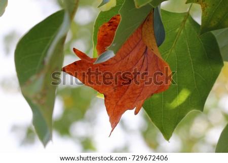 Tulip Poplar Tree Stock Images RoyaltyFree Images Vectors