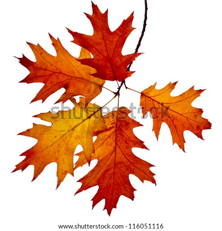 Autumn twig of colored falling leafs of red oak tree ( Quercus rubra ) isolated on white background - stock photo