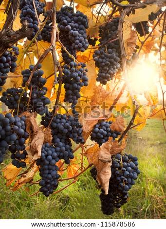 autumn vineyard - stock photo