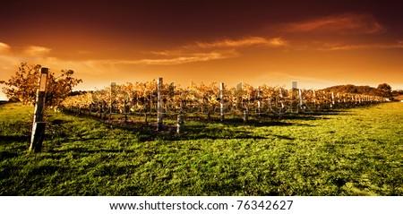 Autumn Vineyard at sunset - stock photo
