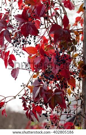 autumn wild grape liana (Parthenocissus quinquefolia) virginia creeper - stock photo