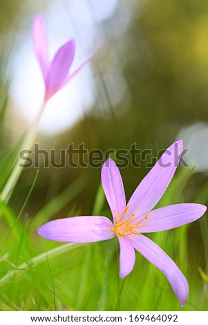 autumn wildflower, the autumn crocus or meadow saffron, Colchicum autumnale. Blooming wildflower in green meadow. Macro image with small DOF. - stock photo