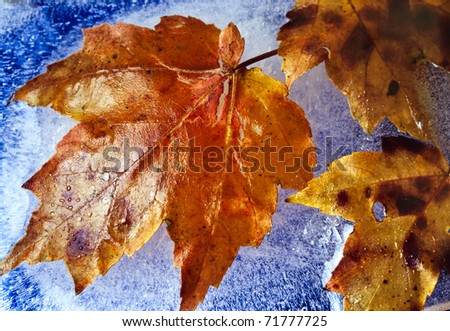 Autumn with maple leaves frozen in ice