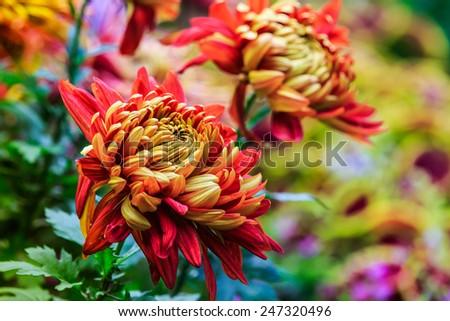 Autumn yellow chrysanthemum flower in full bloom - stock photo