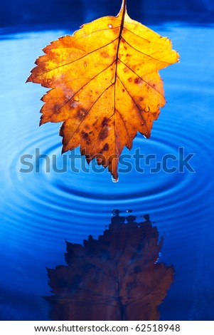 Autumn yellow leaf with drops in the rain on a dark blue background. Under leaf - a pool. - stock photo